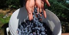 دراسة جديدة: التوت الازرق افضل فاكهة لتعزيز قدرات الاطفال العقلية