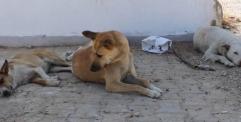 المستوصف البيطري في المناذرة: يعلن عن إبادة ( 405 ) كلباً باستخدام (500) طعم