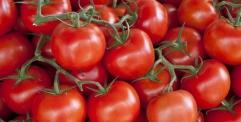 النجف تتوقع انتاج (2000) طن يوميا من محصول الطماطم