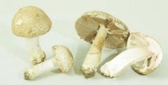 دراسة: الفطر يحتوي على مواد تحارب الشيخوخة